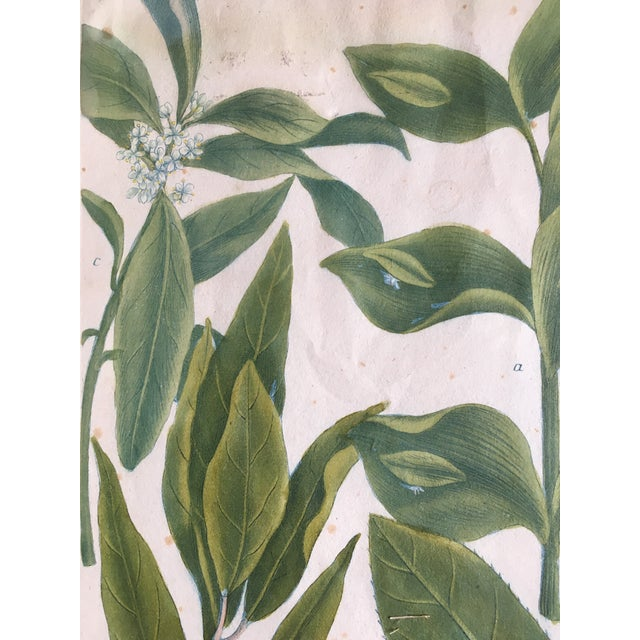 Traditional Mid 18th Century Antique Johann Wilhelm Weinmann Olive Branches Print For Sale - Image 3 of 11