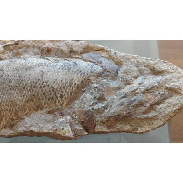 Modern Fossil Fish Concretion from Brazil For Sale - Image 3 of 8