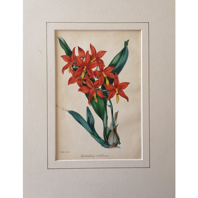 Antique hand colored floral botanical print 19th century. Excellent condition some minor age spots. Matted unframed.