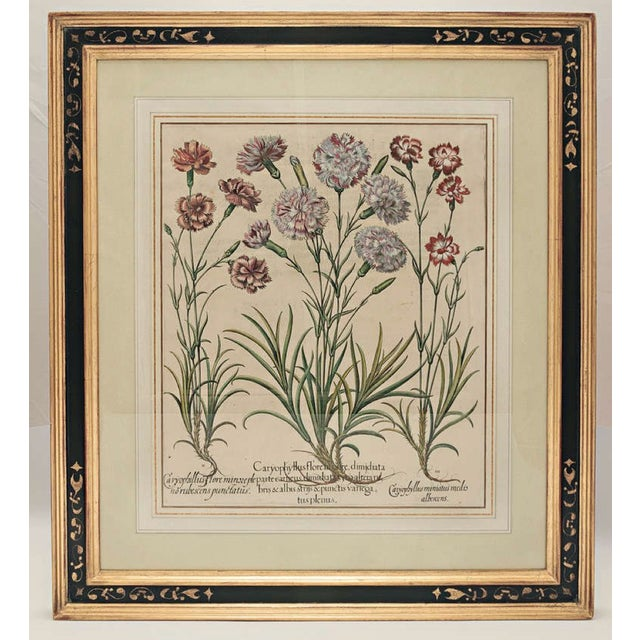 Basil Besler 1561-1629 Hortus Eystettensis original engraving with later hand-coloring in beautiful black and gold frame.