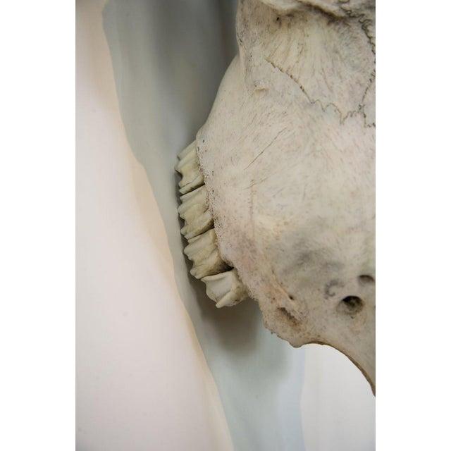 Texas Longhorn Skull Mount For Sale In Atlanta - Image 6 of 11