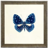 "Image of Bright Blue Butterfly With Light Blue Spots in Distressed Cream & Gold Moulding - 15""x15"" For Sale"