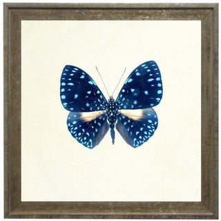 "Bright Blue Butterfly With Light Blue Spots in Distressed Cream & Gold Moulding - 15""x15"" For Sale"