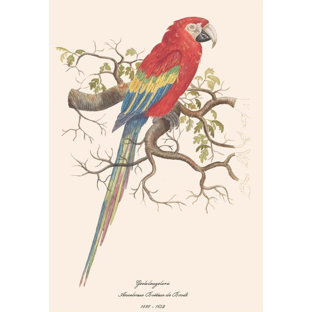 2010s 1590s Large Print of Scarlet Macaw by Anselmus De Boodt For Sale - Image 5 of 8