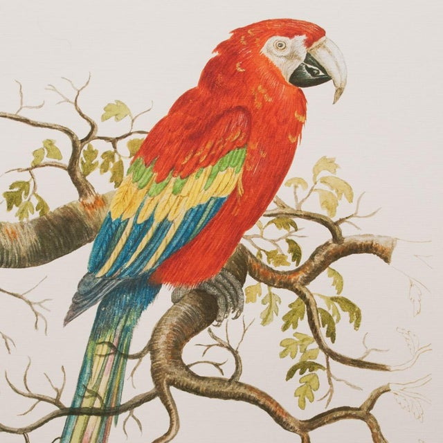 Cottage 1590s Scarlet Macaw , XL Print by Anselmus De Boodt For Sale - Image 3 of 8