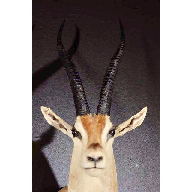 Vintage African Antelope Gazelle Mounted Taxidermy For Sale - Image 10 of 10