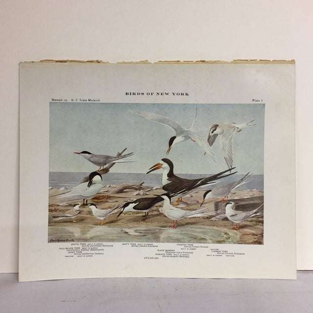 Wonderful color print of a Black Skimmer with Arctic, Gull-Billed, Least, Sooty, Roseate, Common and Forster Terns on...