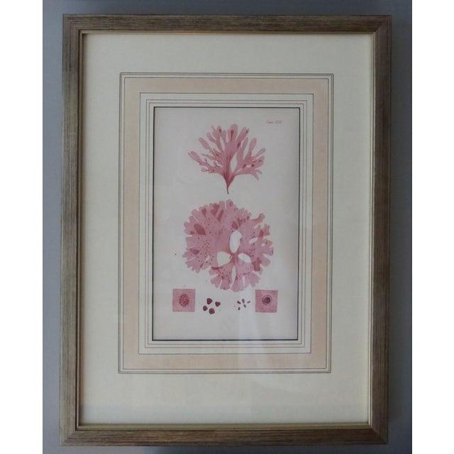 Antique Seaweed Engravings - Set of 8 - Image 5 of 8