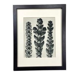 Framed Antique Botanical Blossfeldt Print - No. 29 For Sale