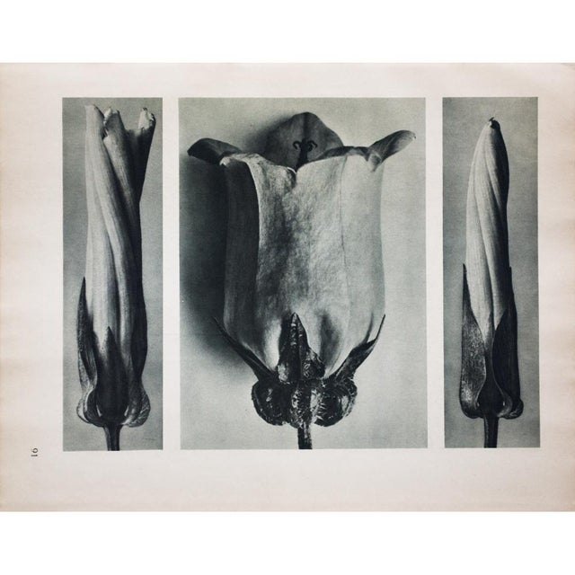 American Classical Karl Blossfeldt Double Sided Photogravure N91-92 For Sale - Image 3 of 7