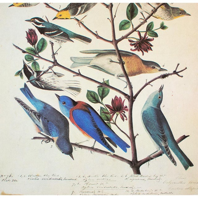 John James Audubon American Bluebirds and Townsend's Warbler by Audubon, Vintage Cottage Print For Sale - Image 4 of 8