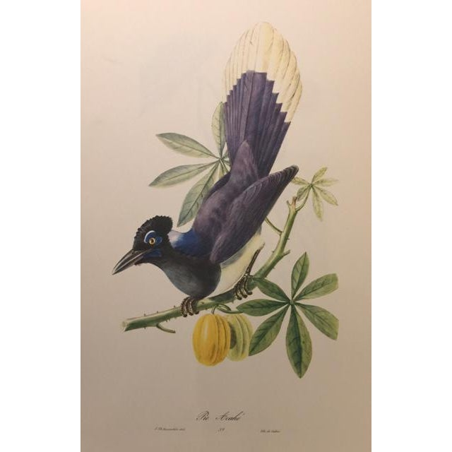 1st Edition Full Color Lithographs of Tropical American Birds - Set of 30 For Sale - Image 12 of 13