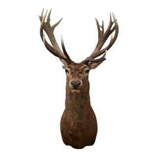 19 Point Red Stag Taxidermy For Sale