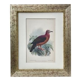 Antique Ornithological Bird Lithograph 1905 For Sale