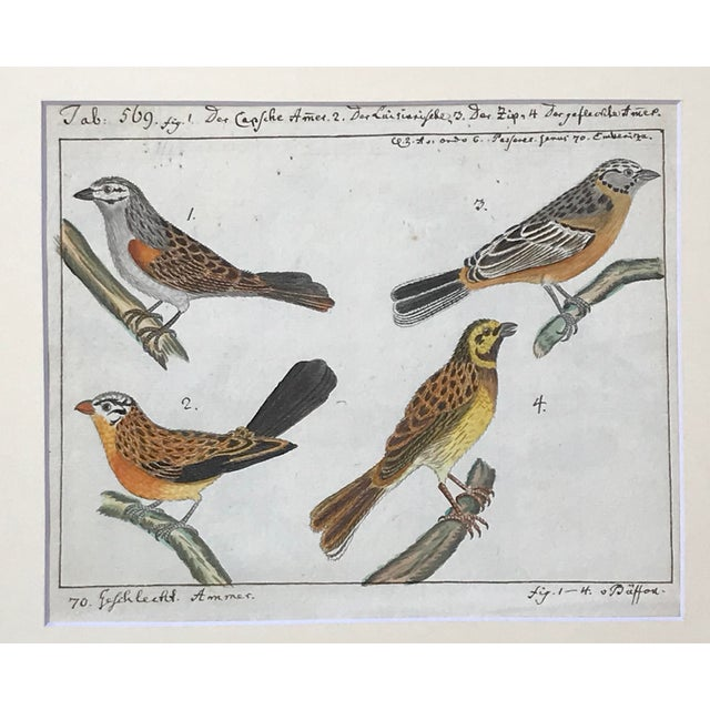 Illustration Antique Original Watercolor Birds Ornithological Study 18th Century For Sale - Image 3 of 7
