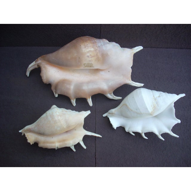 Contemporary Spider Conch Seashells- Set of 3 For Sale - Image 3 of 3