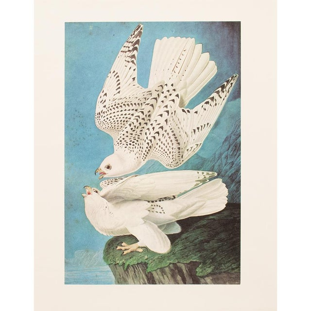 A stunning large vintage reproduction of the original lithographic print of Gyrfalcon by John James Audubon. Comes from...