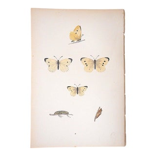 Antique Antique Butterfly Lithograph-F.O. Morris-Hand Colored-Mid 19th Century
