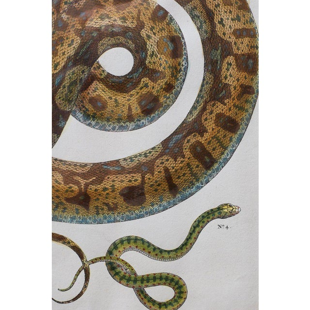 Wood Set of Four Albertus Seba Hand-Colored Snake Prints For Sale - Image 7 of 13
