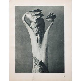 Karl Blossfeldt Photogravure N83-84, 1935