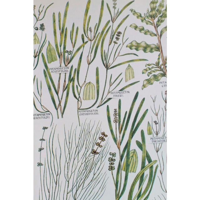 Vintage Botanical Wheat Prints - A Pair For Sale - Image 5 of 7