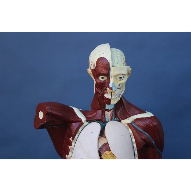 Mid-Century Modern Mid-Century Anatomical Model For Sale - Image 3 of 10