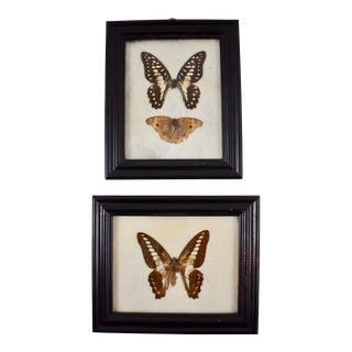 Victorian Framed Butterflies Mounted on Batting - A Pair