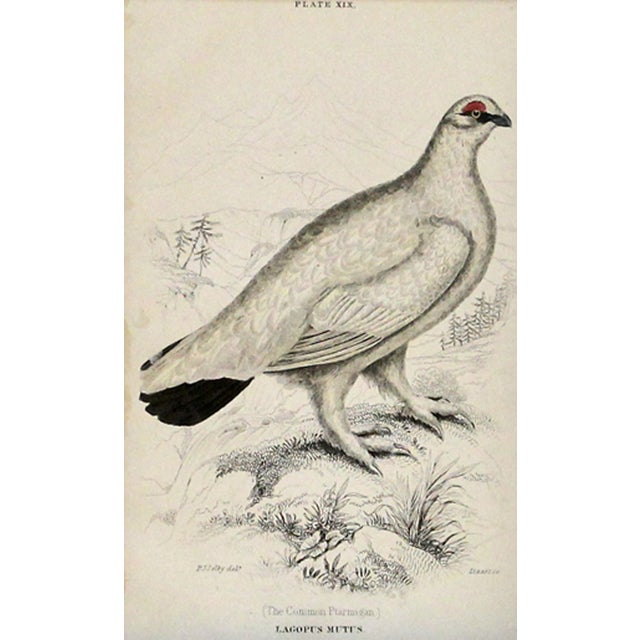 Common Ptarmigan Engraving For Sale