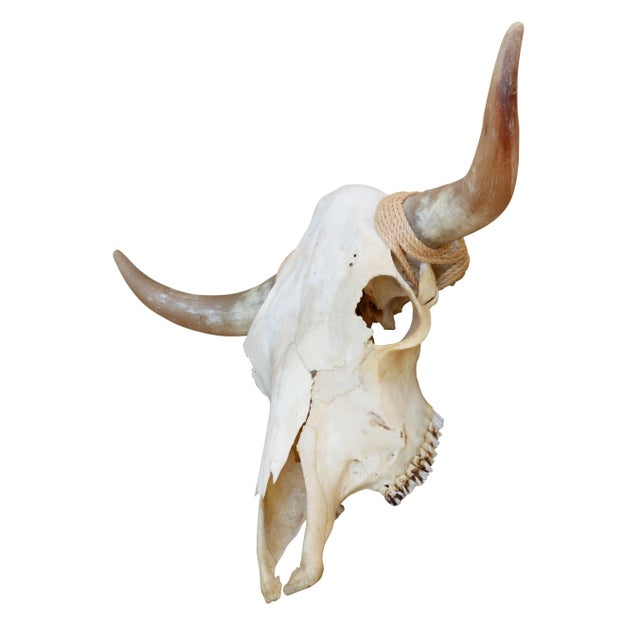 Adirondack Authentic Longhorn Steer Skull For Sale - Image 3 of 8