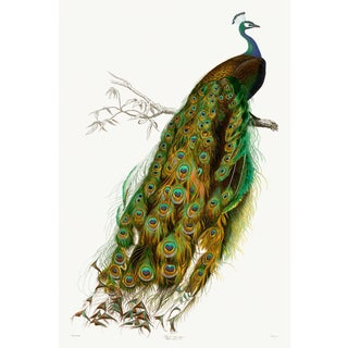 Domestic Peacock Giclee of French Natural History Engraving For Sale