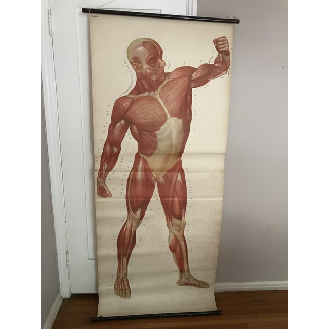 Late 19th Century Human Muscle Chart For Sale - Image 5 of 5