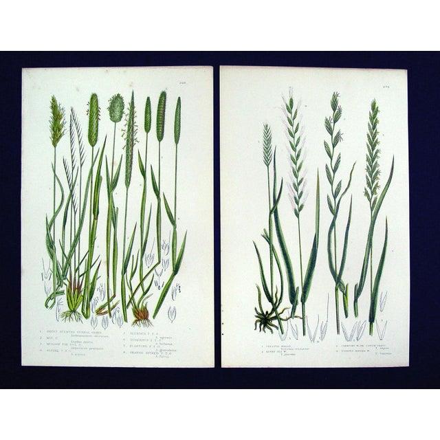Antique Botanical Grasses Lithograph - A Pair - Image 2 of 4
