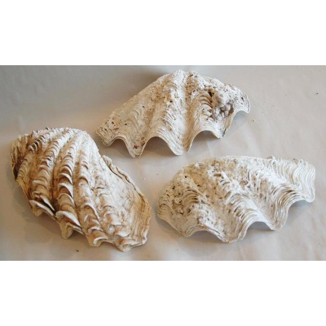 Antique Nautical Seashells Clamshells - Set of 3 - Image 6 of 10