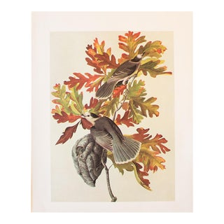 1966 Vintage Canada Jay by Audubon Print For Sale
