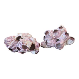 Natural Barnacle Cluster Specimens - a Pair For Sale