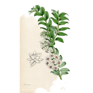 1848, Beautiful Hoya, Antique Curtis Botanical Print by Walter Hood Fitch For Sale