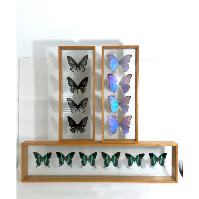 Blue Morpho's & Ulysses Box Framed Butterflies Wall Panel Hangings - Set of 3 For Sale - Image 13 of 13