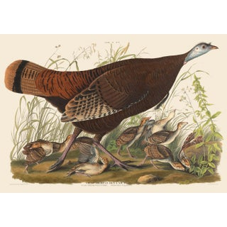 John James Audubon Print, Female Turkey For Sale