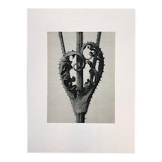 Venus's Bason Leaf Photograph by Karl Blossfeldt For Sale