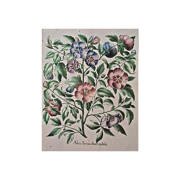 1615 Basilius Besler Botanical Engraving - Image 6 of 6