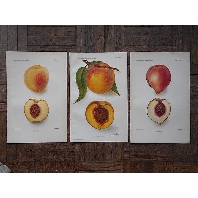 1900's Antique Peach Lithographs - Set of 3 - Image 2 of 3