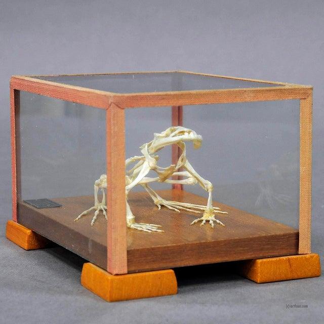 Cabin Vintage Frog Skeleton Model For Class Circa 1950 For Sale - Image 3 of 6