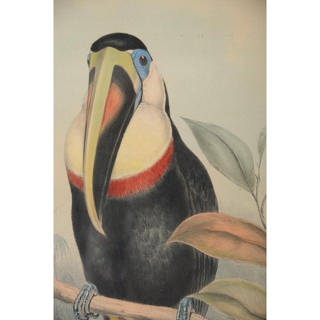 "John Gould ""Ramphatos Inca-Toucan"" Bird Litho. - Image 4 of 9"