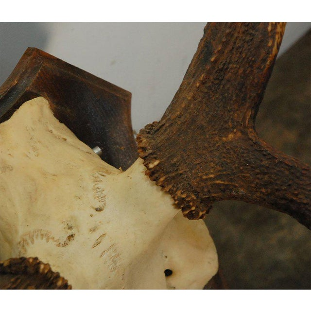 Large Deer Horn Wall Plaque - Image 6 of 7