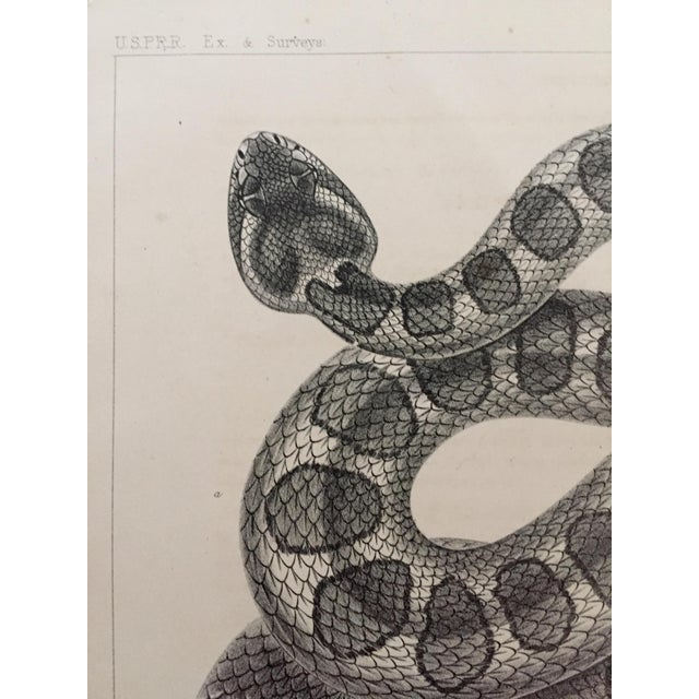 Antique Western Rattlesnake Lithograph C.1860 - Image 3 of 5