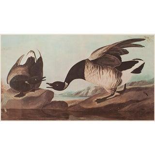 Brent Goose by Audubon, XL Vintage Cottage Print For Sale
