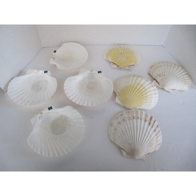 Natural Sea Shells - Set of 8 - Image 4 of 6