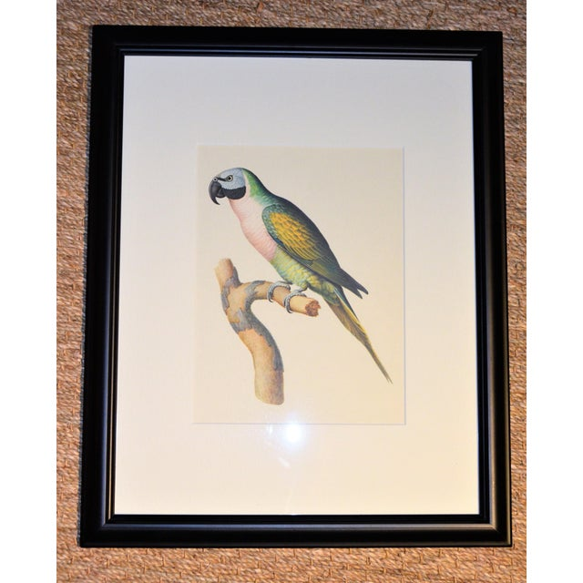 "British Colonial Matted and Framed Vintage Larousse Perroquet ""Moustache Parakeet"" Color Lithograph For Sale - Image 3 of 8"