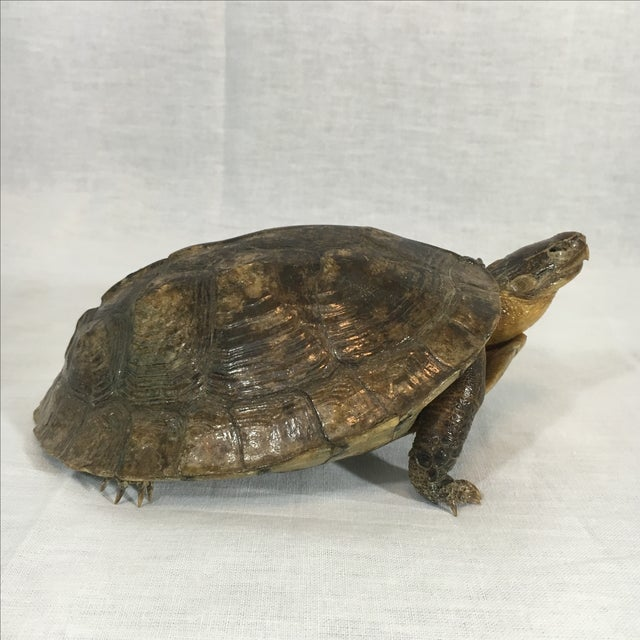 Antique French Taxidermy Turtle - Image 3 of 5