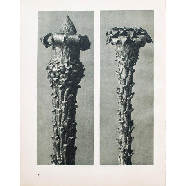 Charcoal 1930s Vintage Karl Blossfeldt Photogravure N17-18 For Sale - Image 8 of 10
